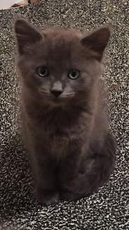 Adorable Ragdoll X Burmese Kittens for Sale Cats