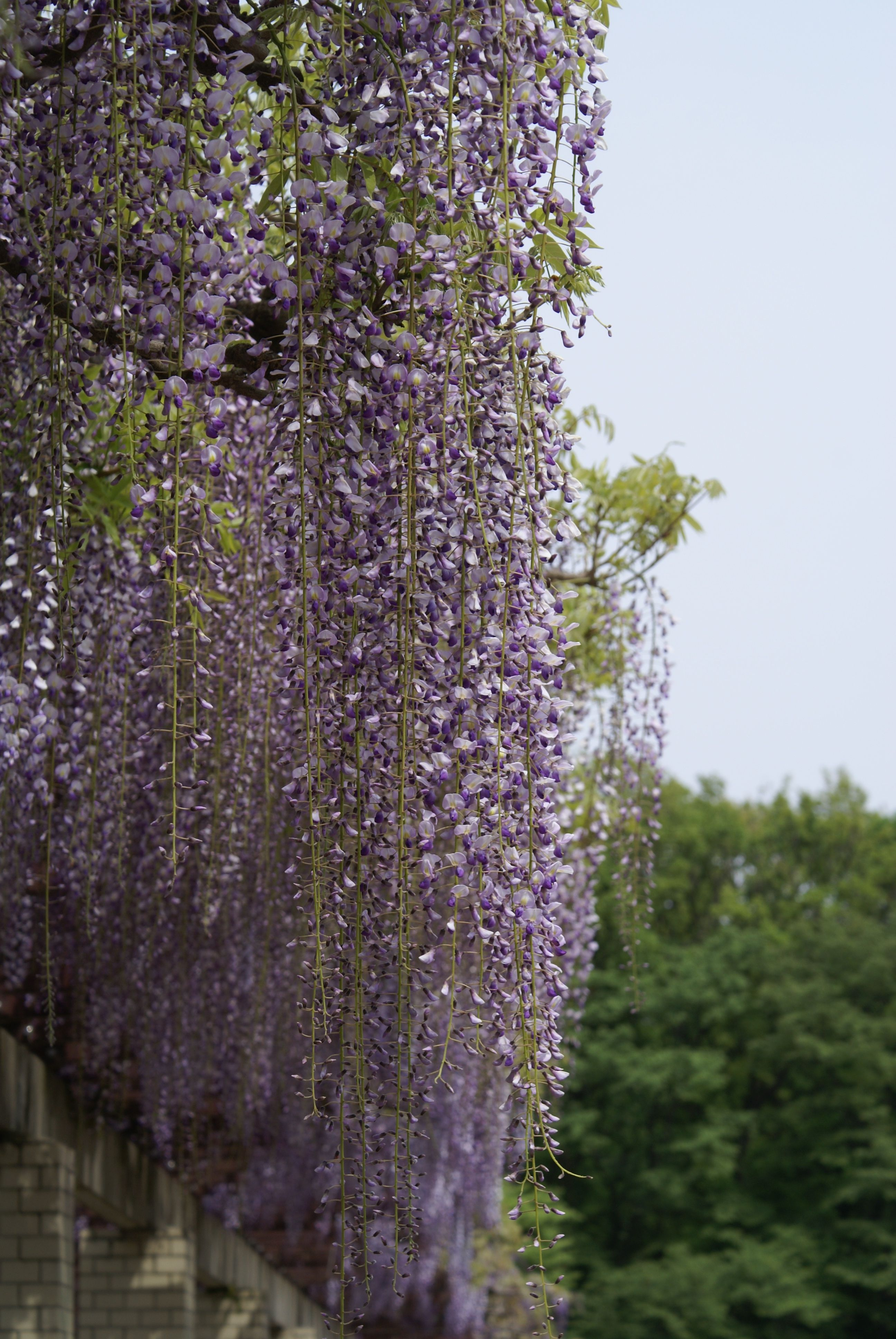 Wisteria In Jindai Botanical Park Bahce