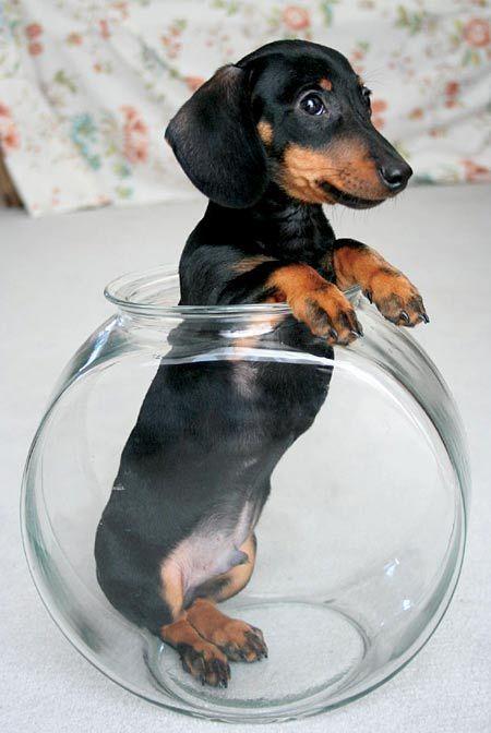 teacup weenie dog