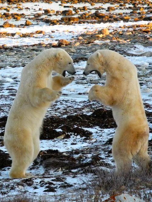 Polar Bear Talk ~ By Robin Esrock