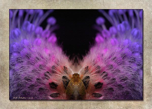 Beaver Peacock. Photo art by WB Johnston