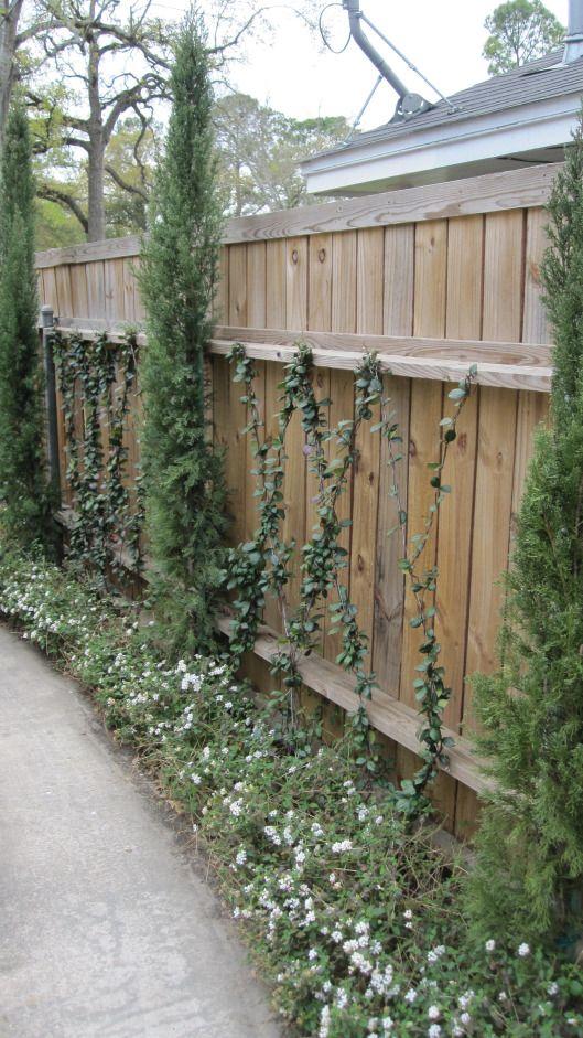 star jasmine vines italian cypress and white trailing lantana