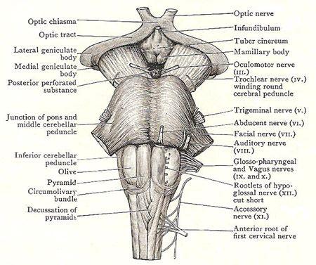 Anatomy of the brainstem | Study help | Pinterest ...