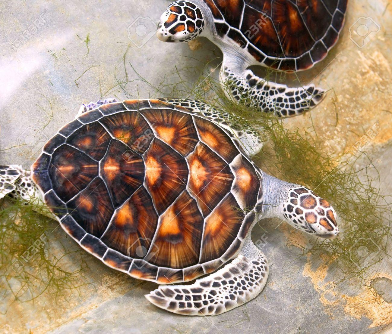 green sea turtle shell - Google 検索 | turtles | Pinterest ... Sea Turtle Shell