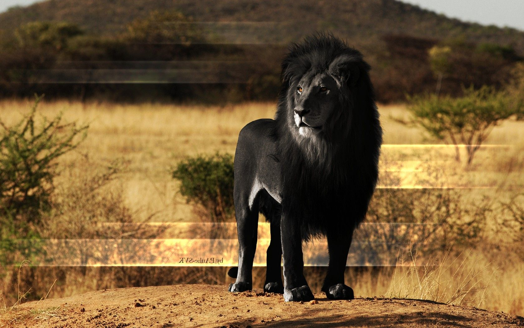 Animals Lion Black Melanism Wallpapers Hd Desktop And Mobile Backgrounds Black Lion Animals Lion Pictures