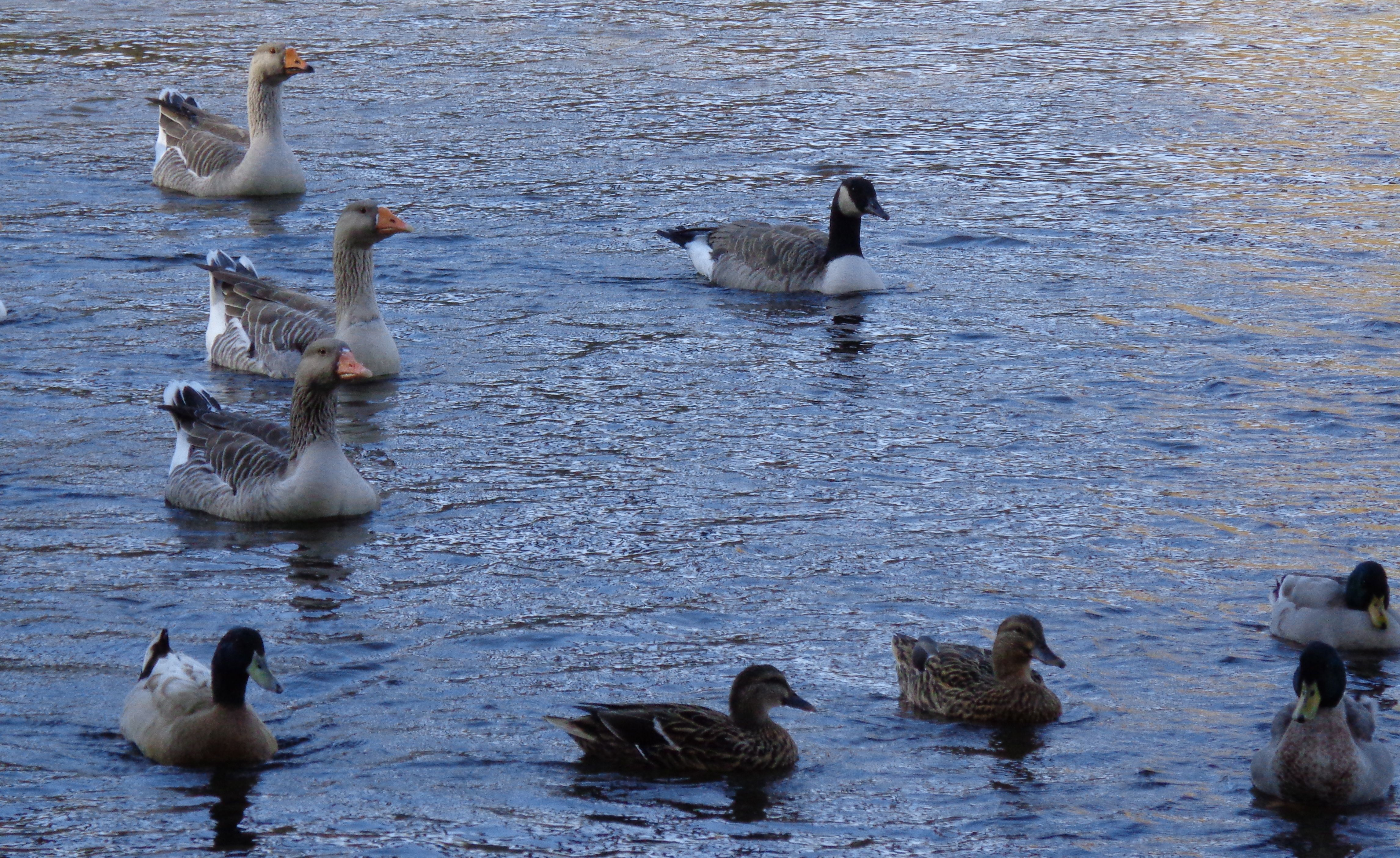Geese and ducks swimming in the Youghiogheny River