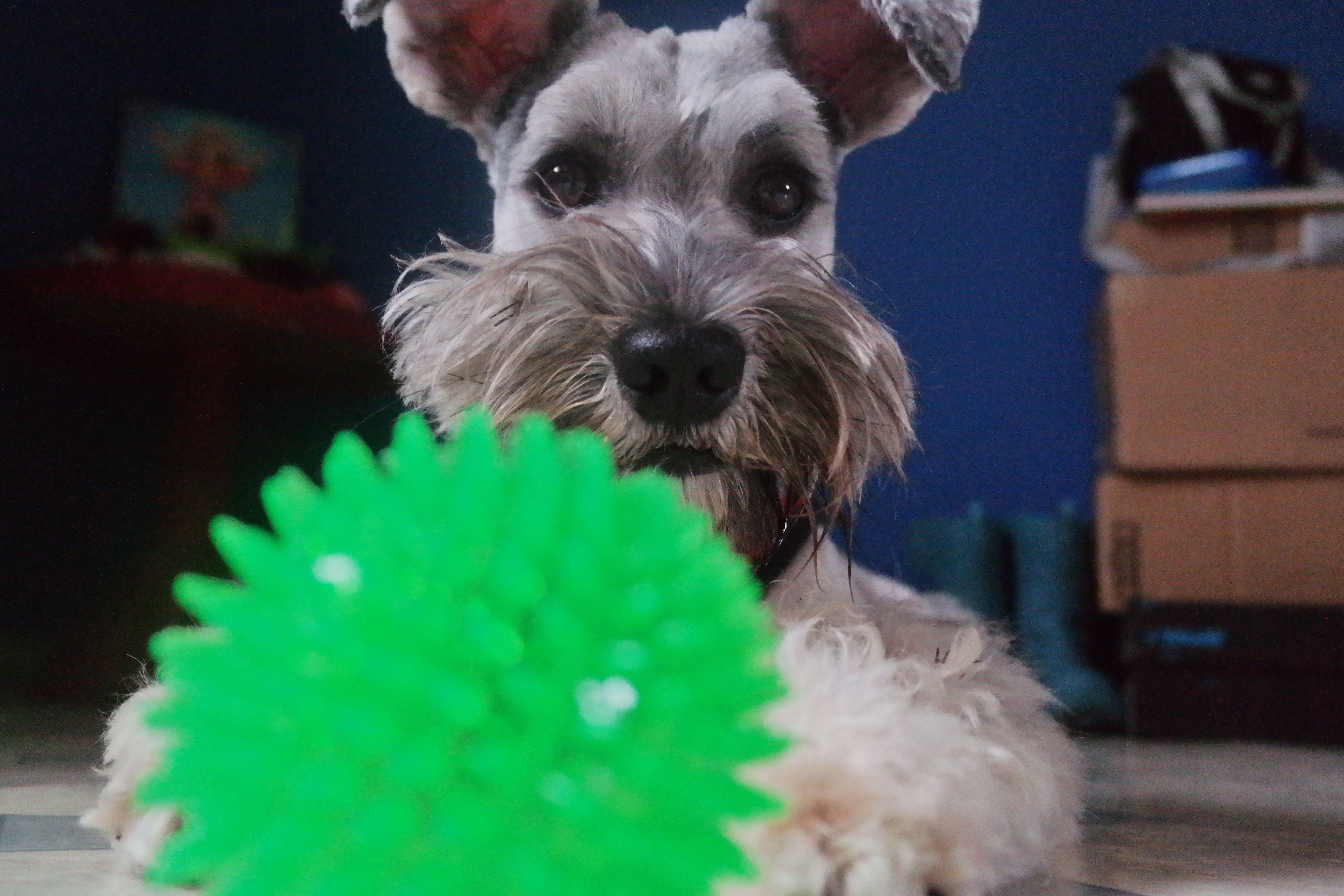 Jasper/Schnauzer con uno de sus juguetes preferidos.