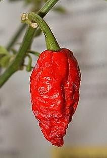 Seeds x 10 Ghost Pepper Rare White Naga Bhut Jolokia