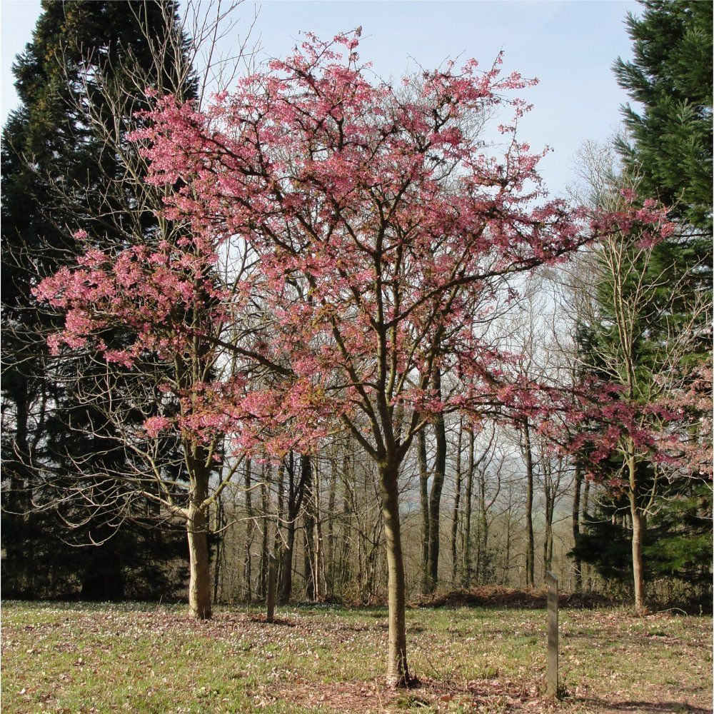 Small ornamental cherry tree 100 images prunus for Tiny ornamental trees
