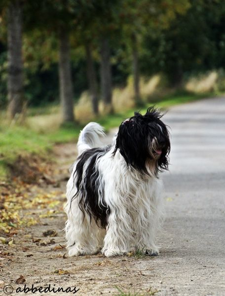 Schapendoes Black And White Scruffy Dogs Dogs Herding Dogs