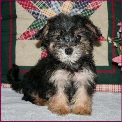 Morkie!!!!! I WANT HIM (With images) Morkie puppies