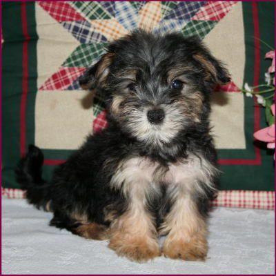 Morkie I Want Him Morkie Puppies American Bulldog Puppies