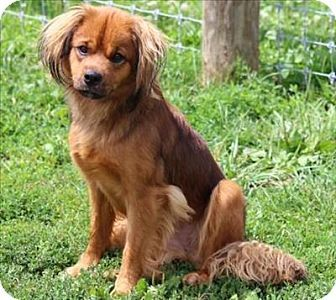 Quakertown Pa Cavalier King Charles Spaniel Tibetan Spaniel Mix Meet Tammy A Dog For Adoption Http W Kitten Adoption Cavalier King Charles Spaniel Pets