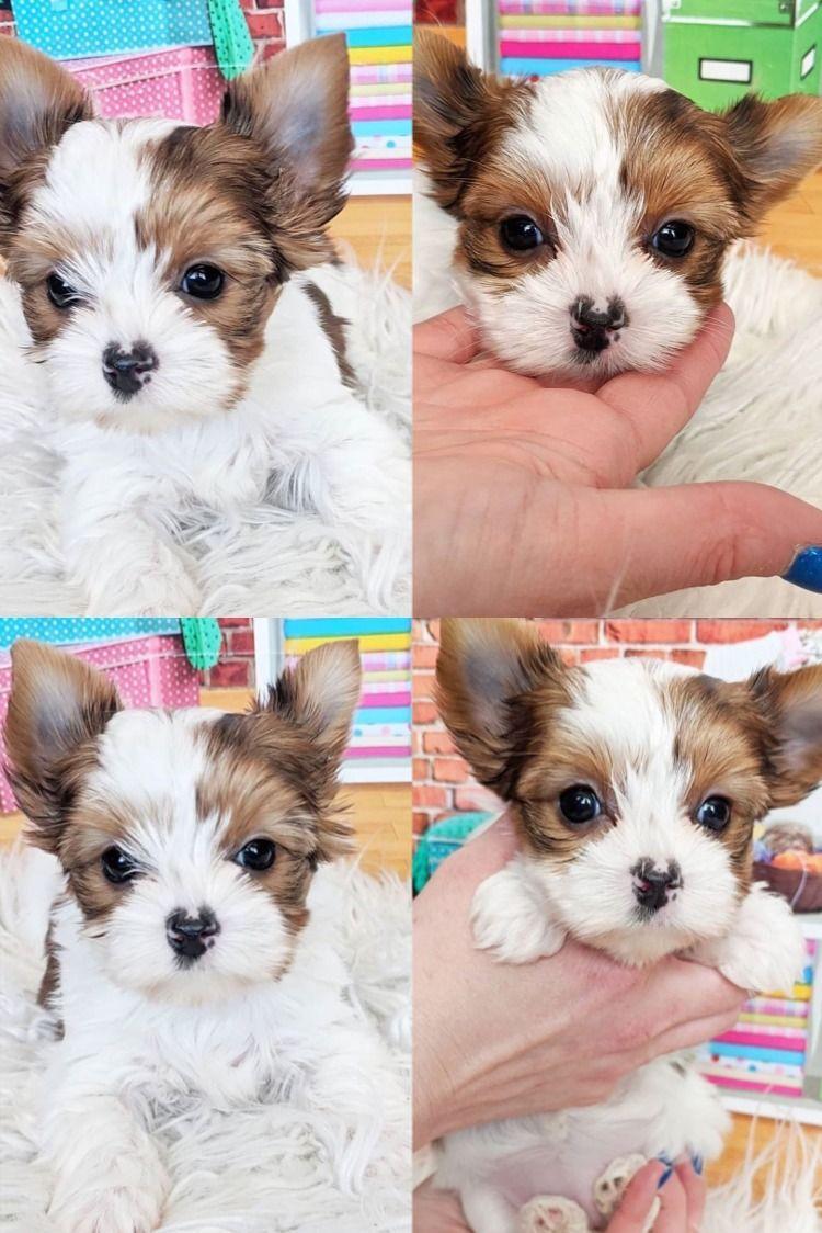 Parti Yorkie Breeders Near Me In 2020 Yorkie Puppy For Sale Yorkie Puppy Teacup Yorkie Puppy