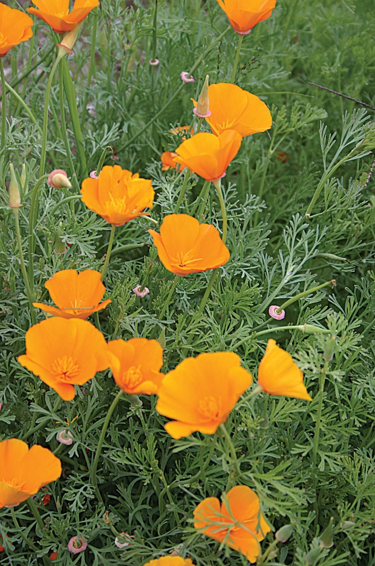 Poppy California Poppies California Poppy Orange Flowers
