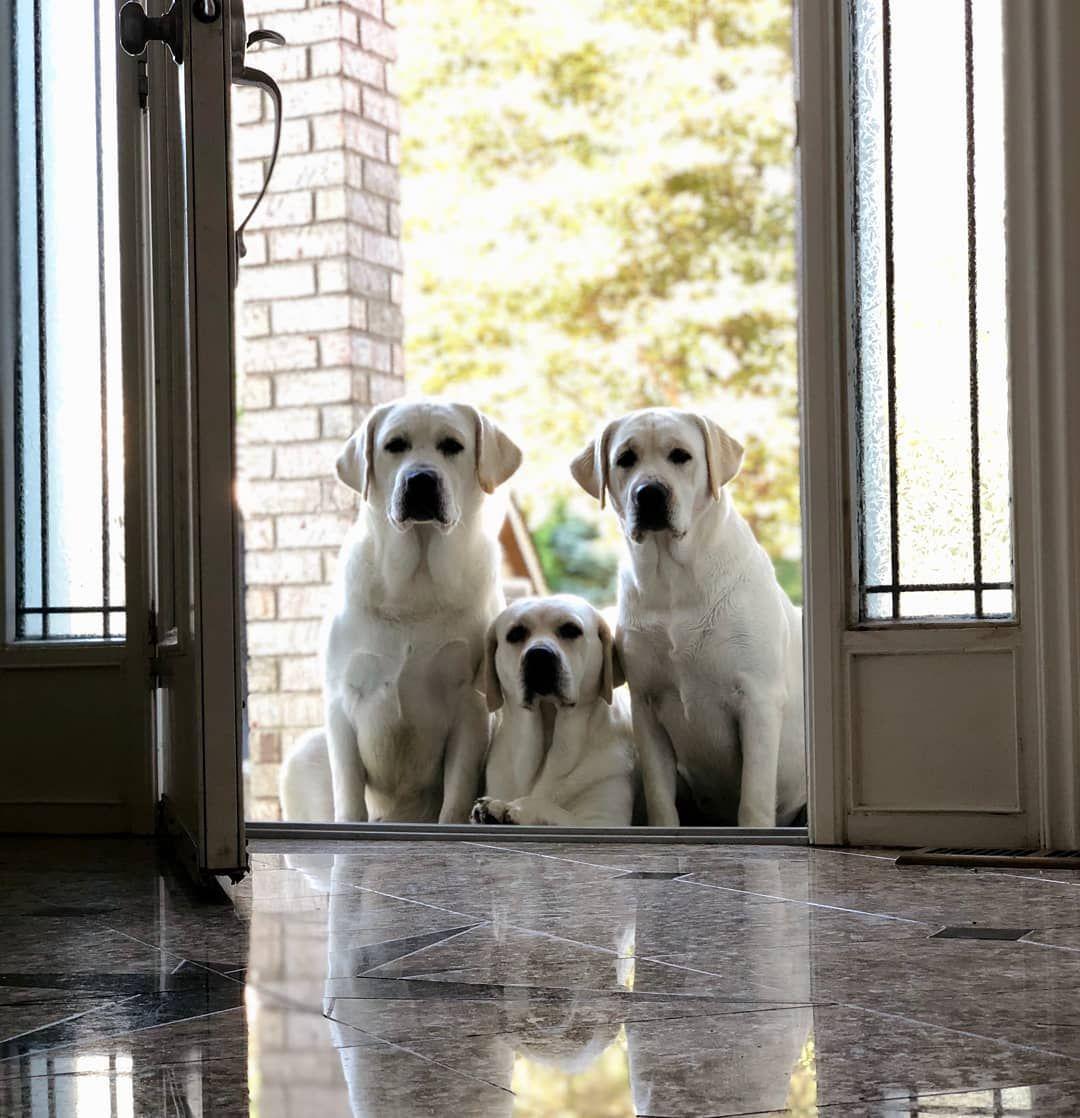 "Photo of Royal White English Labradors on Instagram: ""We rock at taking pics 😎 • www.royalwhitelabradors.com • #royalwhitelabradors #royalenglishlabrador #royalwhiteenglishlab #royallab…"""