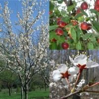 Quebec Producer Of Permaculture Trees Nuts Fruit Etc Plum Tree Pollination Fruit Trees