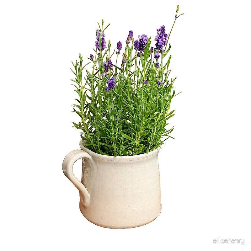 Lavender Plant In A Ceramic Jug Throw Pillow Buy Lavender