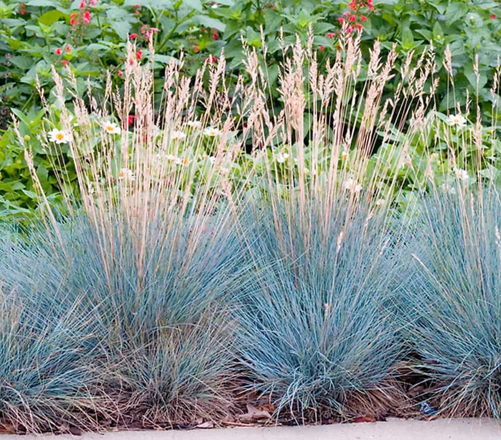 Garten Center Dehner: Blauschwingel 'Intense Blue', Silber: Dehner Garten Center