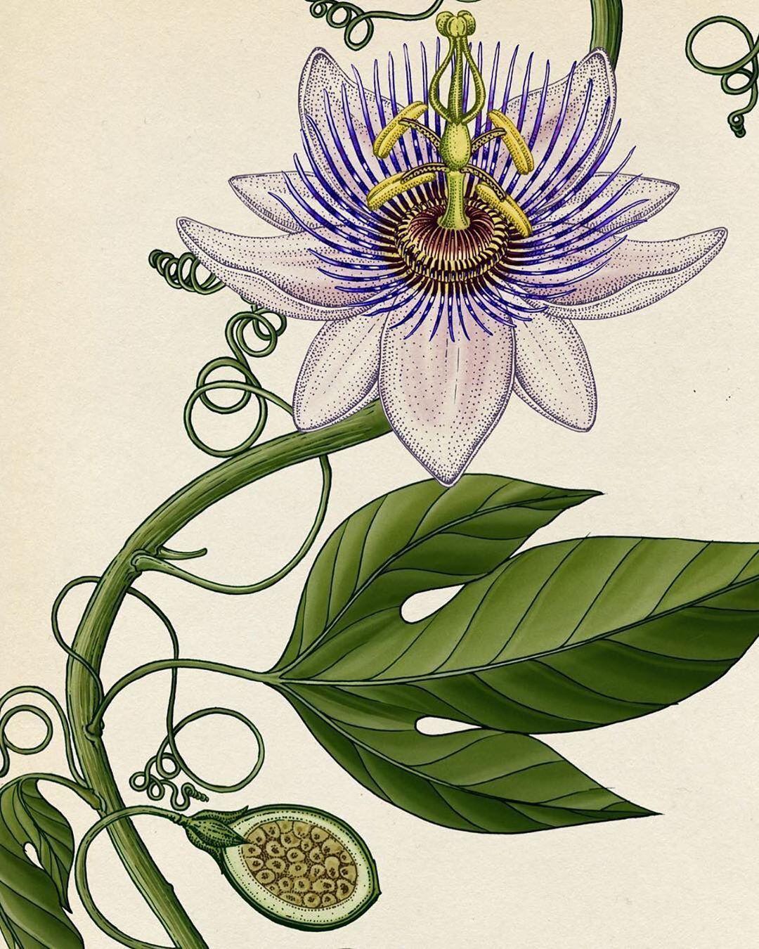Monique V D Vlist Artdirector En Instagram Today Blooming In My Insta Garden Passiflora Illustration In 2020 Plant Illustration Flower Vine Tattoos Flower Art