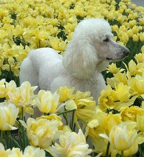 Beautiful White Standard Poodle