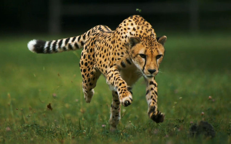 Chetah Running Forward Google Search Animals Cheetahs Feline