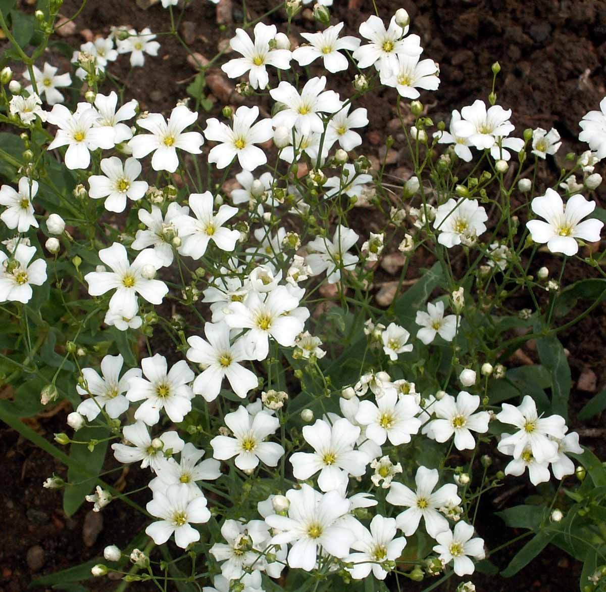 Gypsophila Elegans Babys Breath Flowers Gypsophila Elegans Flower Seeds