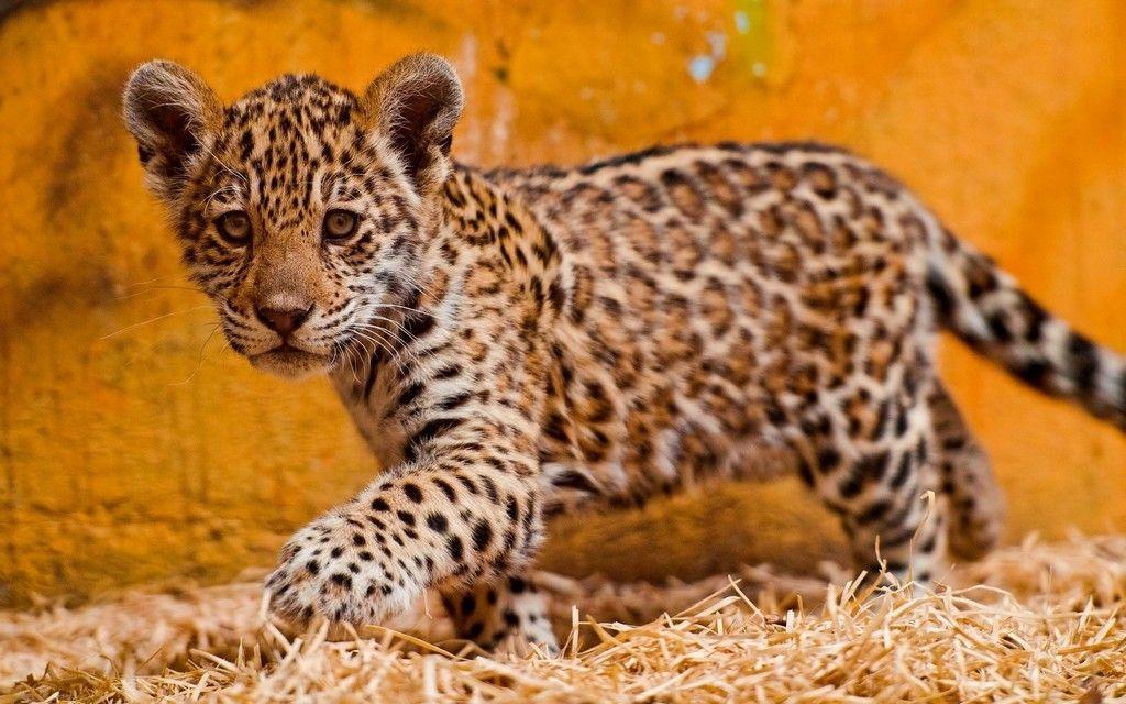 Jaguar Baby Bilder Jaguar Babybild Und Foto Jaguar Tier Tierbabys Ausgestopftes Tier