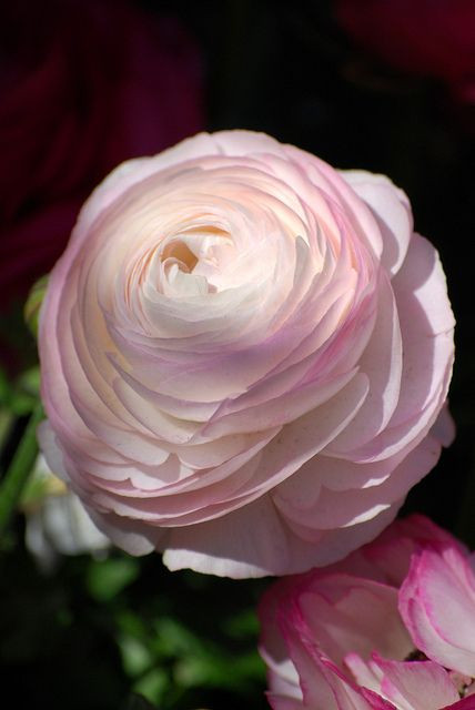 Ranunculus Asiaticus Beautiful Flowers Amazing Flowers Flowers