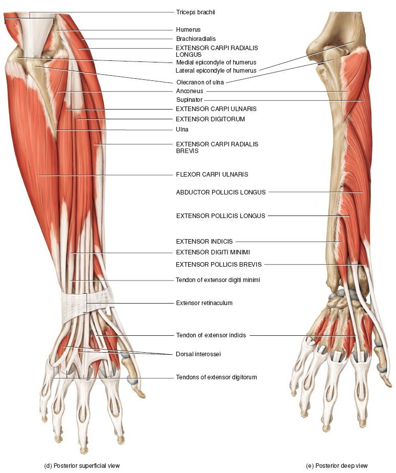 Muscles of the Forearm That Move the Wrist, Hand, Thumb, and Digits ...