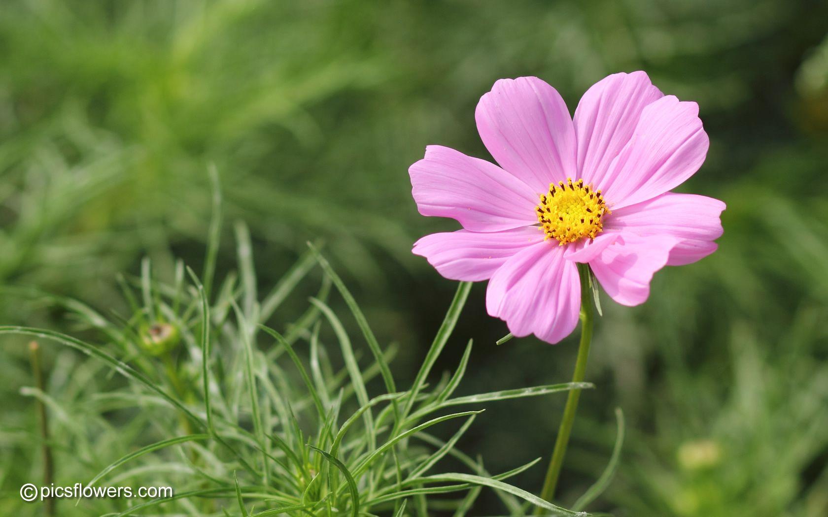 Flower Google Zoeken Types Of Flowers Cosmos Flowers