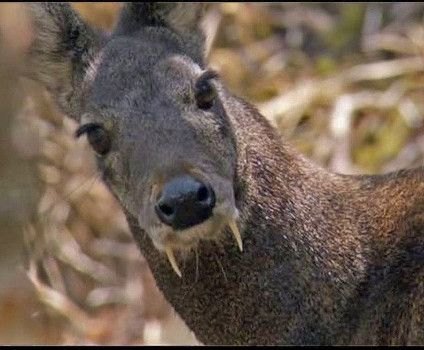 Afghan Rare Fanged Deer Species Spotted After Six Decades Fxc