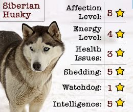 Qualities Of Siberian Husky Something To Note When Finding My