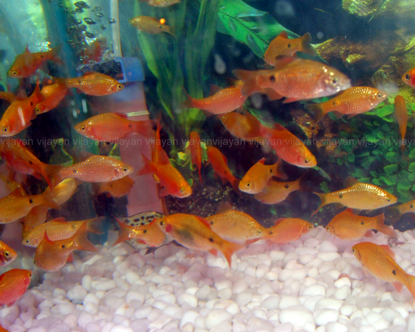 Rosy Barbs Aquarium Fish Fish Pet Life