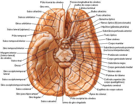 Aula de Anatomia | Telencéfalo | Telencefalo | Pinterest | School ...