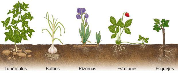 Reproduccion asexual en plantas por estolones botanica