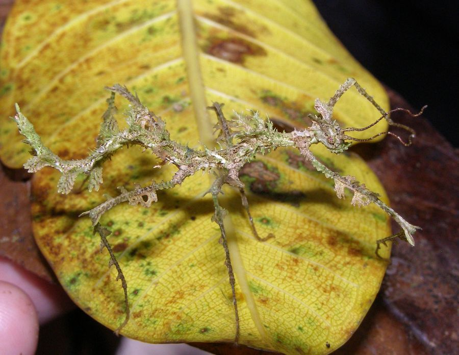 Trychopeplus laciniatus (Phasmatodea: Diapheromeridae)