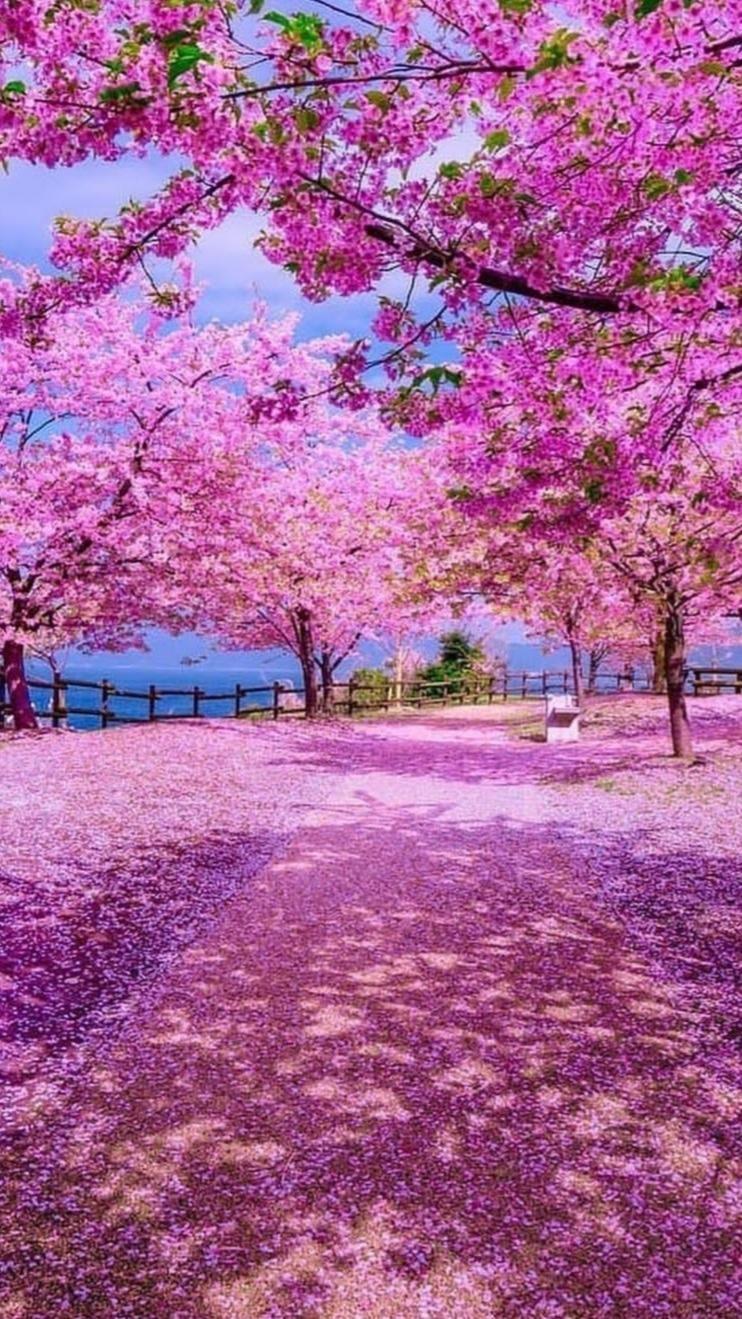 Sakura at Japan