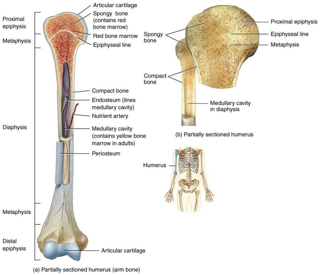 discover ideas about anatomy organs [ 1024 x 882 Pixel ]