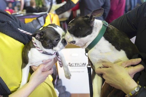 Boston Terriers Gaga And Spitzer Sniff One Another During The 137th Westminster Kennel Club Dog Show In New York Westminster Dog Show Dog Show Dogs