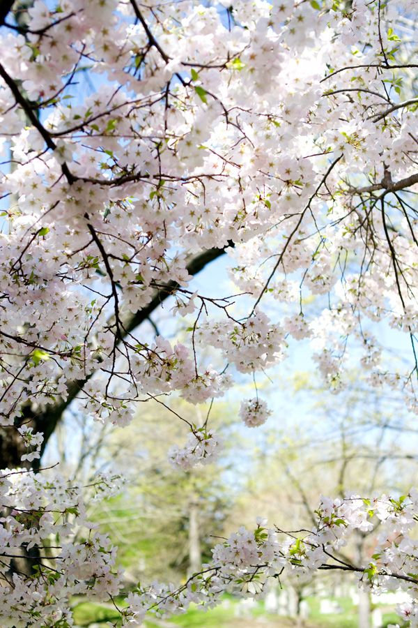 Cherry Blossoms Spring In Boston Spring Landscape Nature Pictures Blossom