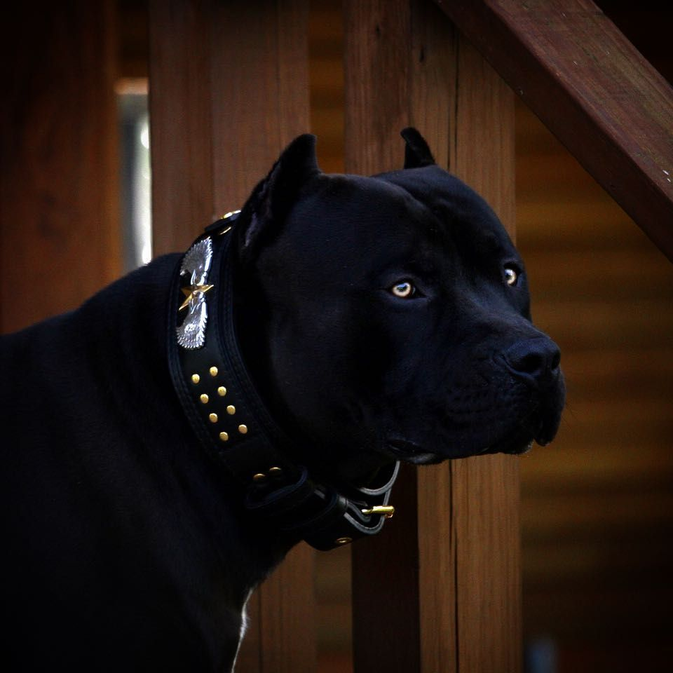 Prague Collar Courtesy Of Atelier Top4dogs Xdp Beauty