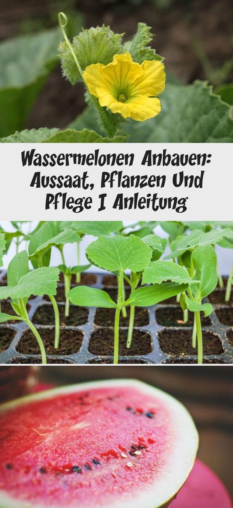 Wassermelonen Anbauen Aussaat Pflanzen Und Pflege Anleitung Vegetables Radish Food