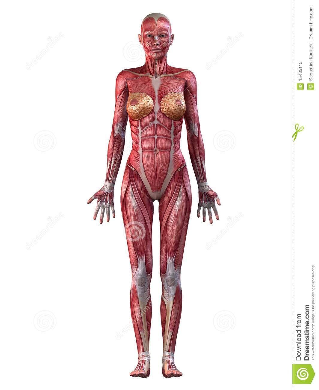 sistema muscular femenino - Buscar con Google | muscle | Pinterest