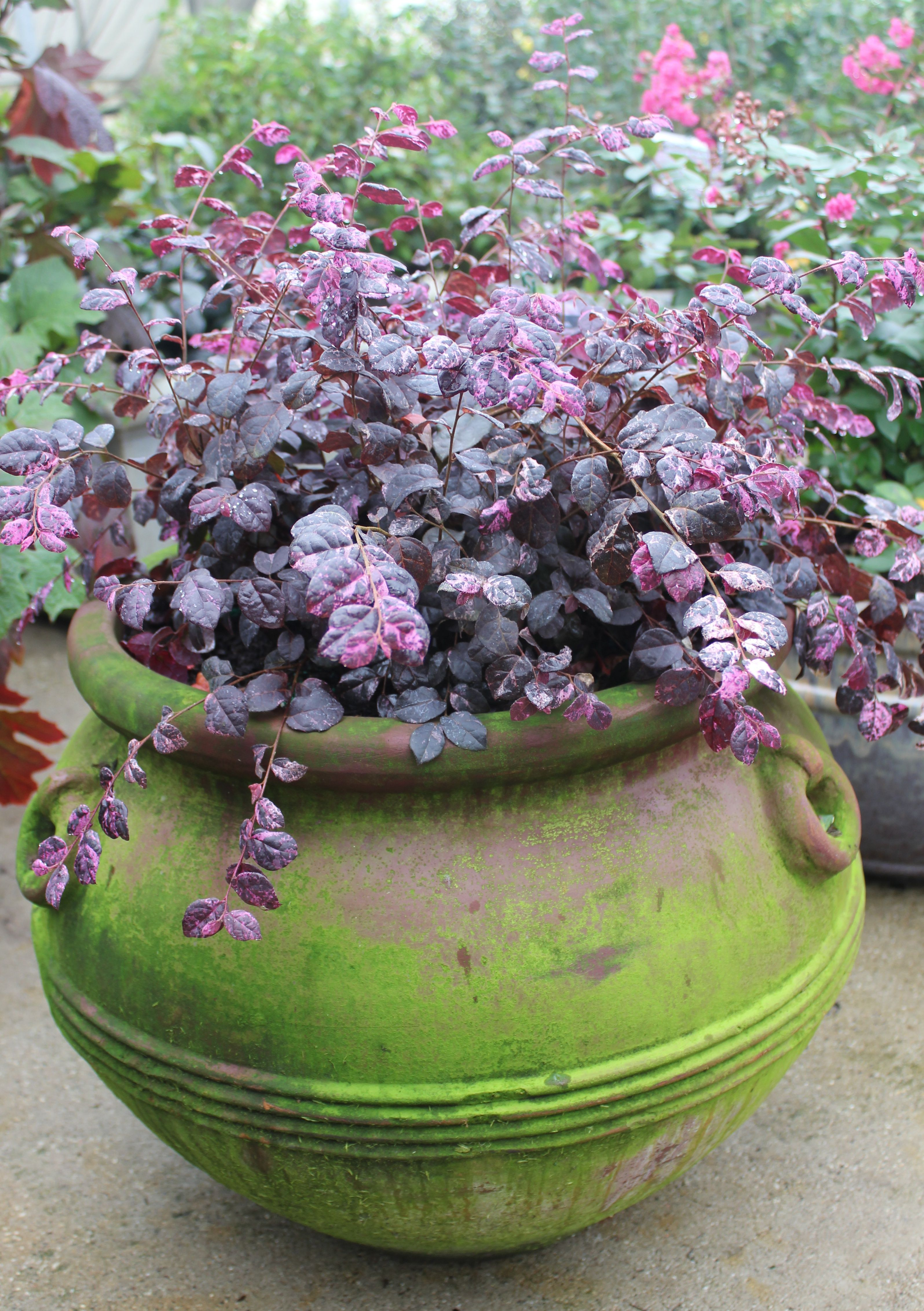Jazz Hands Variegated Chinese Fringe Flower Loropetalum Chinense Container Flowers Planter Pots Outdoor Hedging Plants