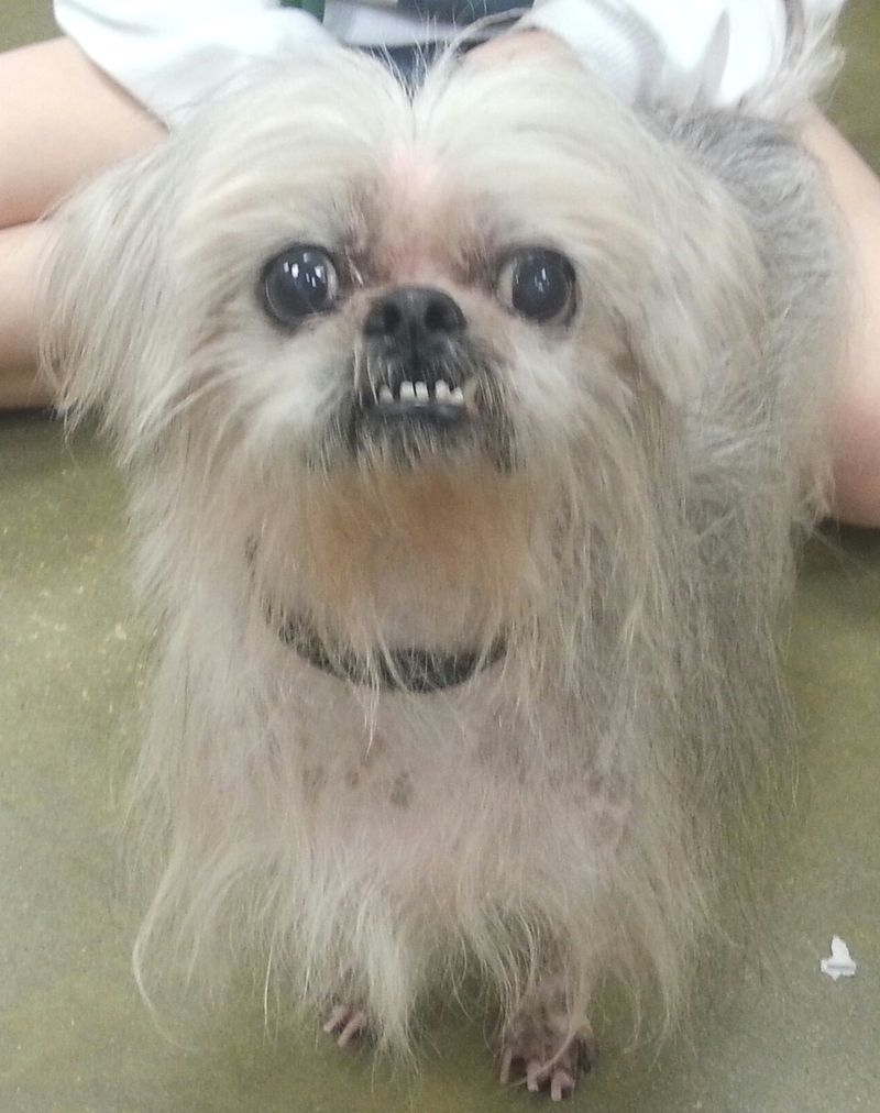 Adopt Telly On Petfinder Shih Tzu Mix Shih Tzu Chinese Crested
