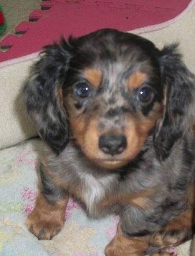 Looks Like A Baby Schatzi Dapple Dachshund Dachshund Puppies