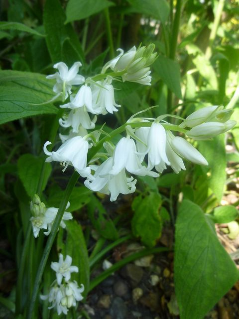 White bluebells fresh flowers and foliage pinterest flowers white bluebells mightylinksfo