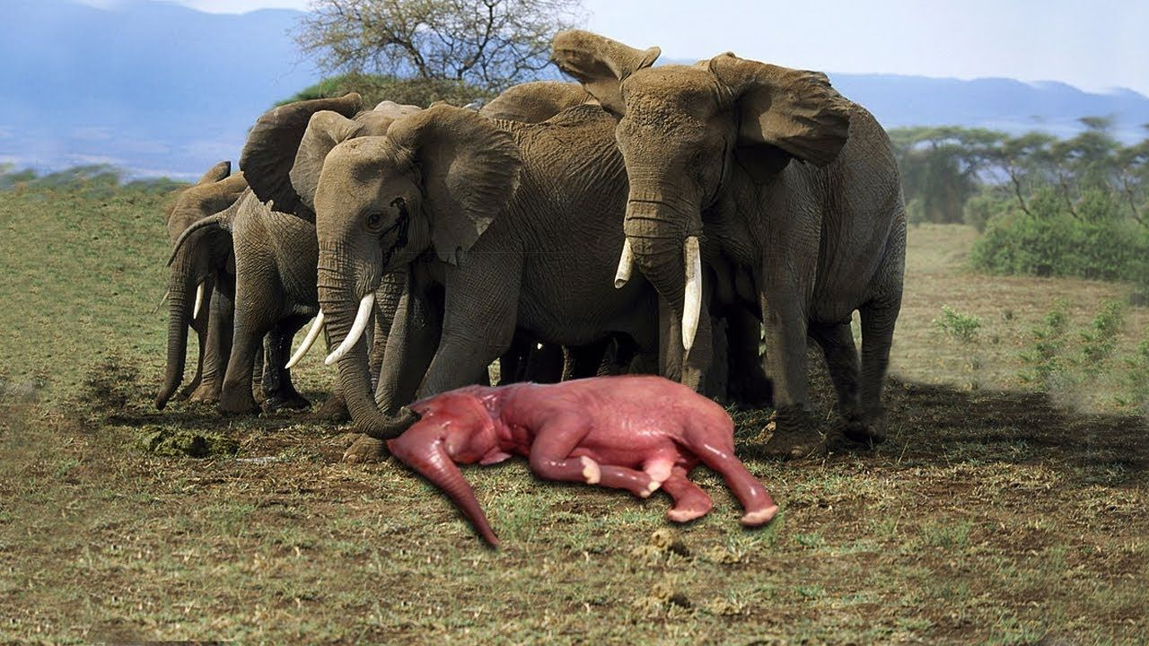 Wonderful Elephant Mother Giving Birth In The Wild   Baby ...