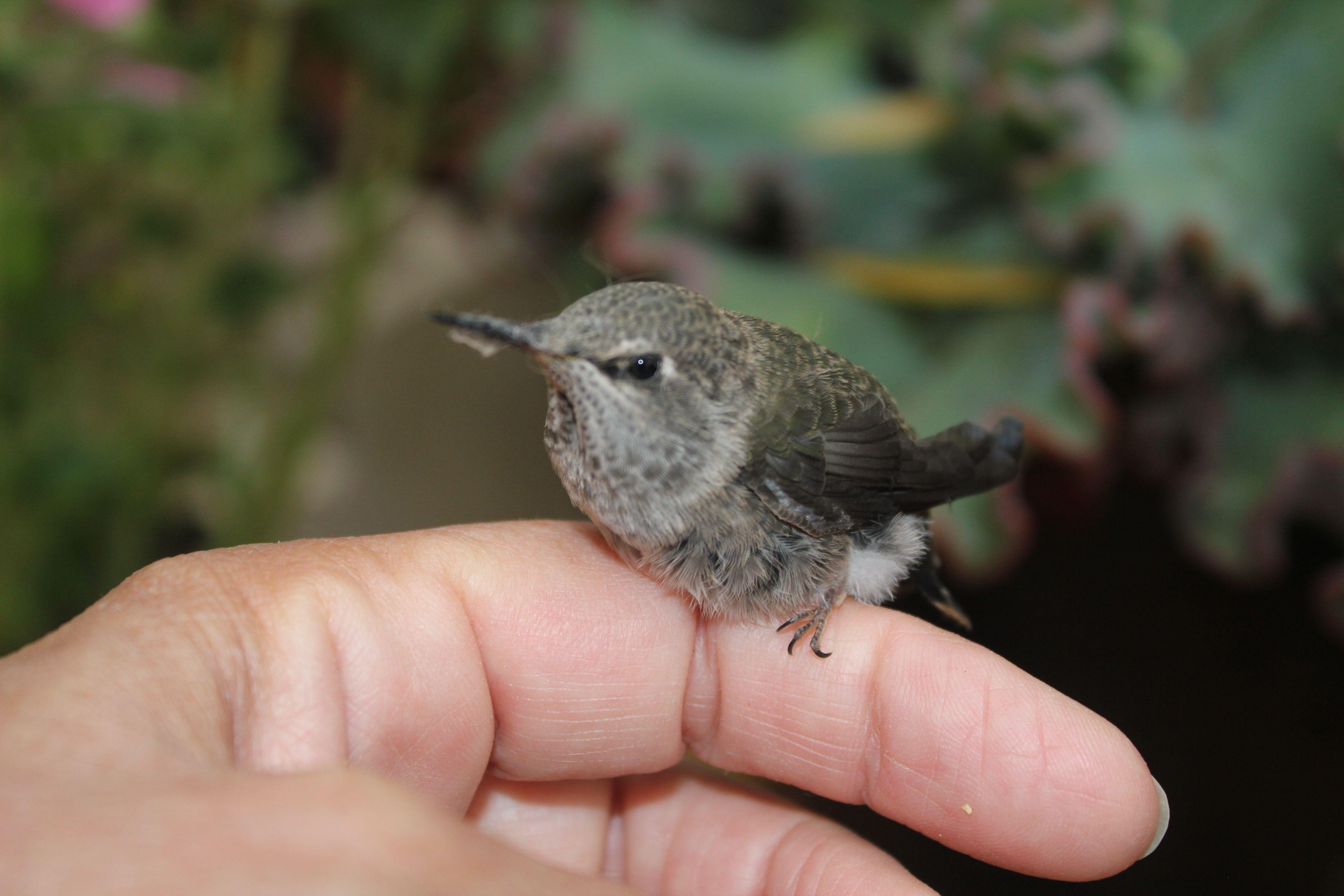 baby hummingbird | TWITTERPATED | Pinterest